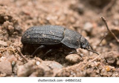 Closeup of a black beetle