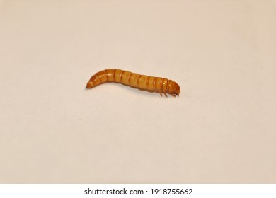 closeup black beetle larva on white background | mealworms. mealworm isolated. Stages of the mealworm. the life cycle of a meal worm. meal worms. superworms, super worms, superworm, super worm. insect