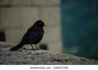 Closeup of Black bird with orange beak