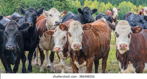 Closeup of black and brown cows looking the camera