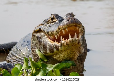 Close-up of a Black Caiman facing camera, half in the water with open mouth and teeth visible, Pantanal Wetlands, Mato Grosso, Brazil