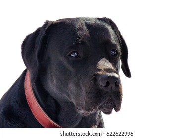 Closeup of black dog on the white background
