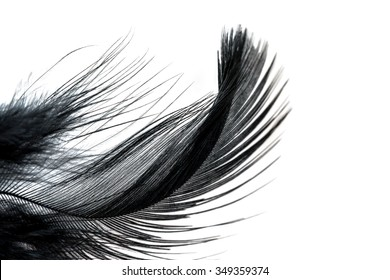 Close-up of Black feather isolated on white background