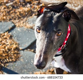 Close-up of a black Greyhound dog in a red collar