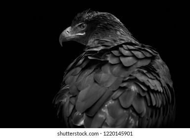 Close-up of a black isolated steppe eagle (Aquila nipalensis) looking to the left and rear view on black background