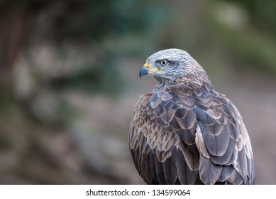 Closeup of a black kite
