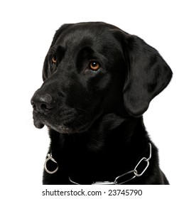 close-up of a black Labrador in front of a white background