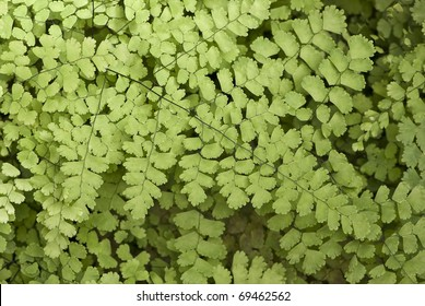 Closeup to a Black Maidenhair fern (Adiantum capillus-veneris)