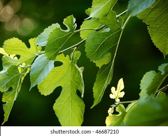 closeup of black mulberry branch with fresh leaves