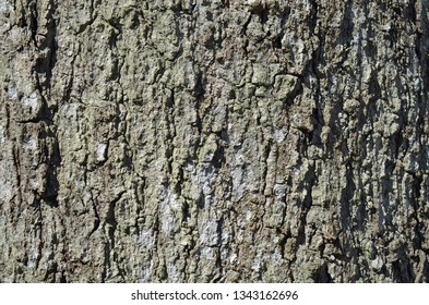 Close-up of Black Oak tree bark, known as Quercus velutina or commonly Eastern Black Oak which is in the Red Oak Tree group and found throughout eastern and central North America.