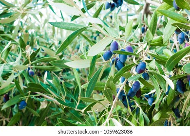Close-up of black olives tree
