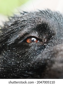 A closeup of a black puppy eye with snowflakes on hair