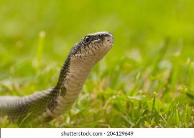 Closeup of black rat snake, pantherophis obsoletus