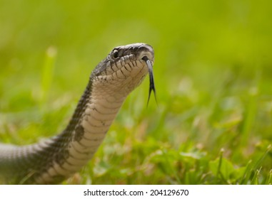 Closeup of black rat snake, pantherophis obsoletus, sticking out its forked tongue