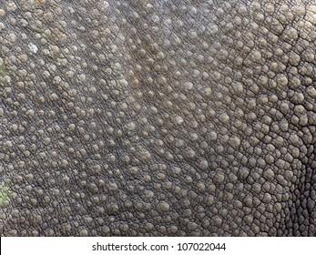 Close-up of Black Rhinoceros (Diceros bicornis )skin texture.