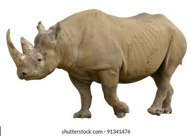 Closeup of Black Rhinoceros (Diceros bicornis) walking viewed of profile, isolated on white background