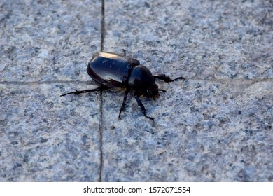 Closeup of Black Scarab or Female Dynastinae on the marble walkway selective focus.