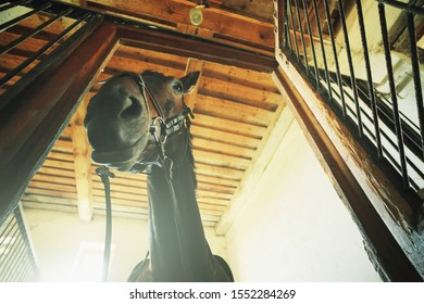 Closeup of a black sporting horse in the stable.