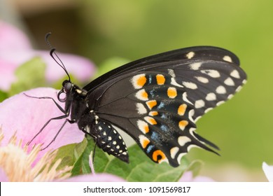 Closeup of a Black Swallowtail butterfly resting on a pink bloom