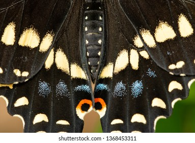 Closeup of Black Swallowtail butterfly's wings