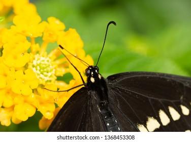 Closeup of a Black Swallowtail on a yellow Lantana flower