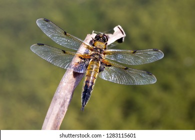 Closeup of a Black Tailed Skimmer (Orthetrum cancellatum)