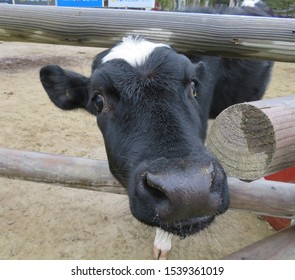 Closeup of a black and white calf's face peering out between the wooden posts of a barnyard fence