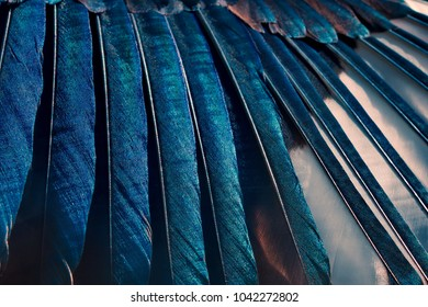 Close-up of black, white and iridescent feathers of european magpie. Bird feather texture. Beautiful multicolor feathers of european magpie as a background.