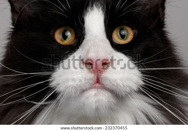 black and white maine coon cat