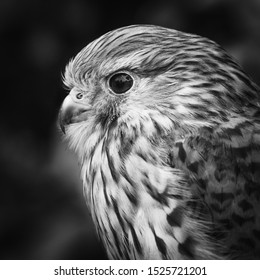 A close-up black and white portrait of a Kestrel (Falco tinnunculus) in profile.