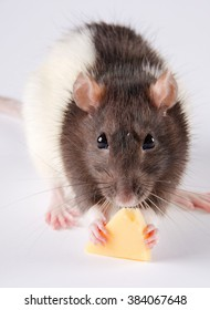 Closeup of a black and white rat eating cheese