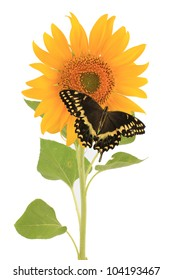 Closeup of black and yellow swallowtail butterfly (Papilio hospiton) on sunflower(Helianthus annuus) isolated on white.