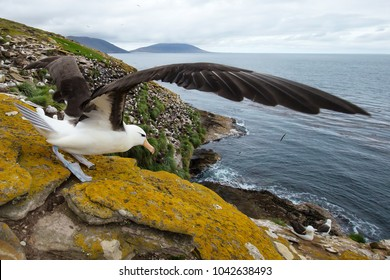 Close-up of a Black-browed Albatross (Diomedea melanophris) with spreaded wings ready to take off,  Falkland islands.