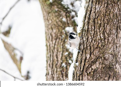 Closeup of black-capped chickadee poecile atricapillus bird perched on tree trunk during winter snow cold in northern Virginia