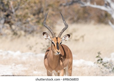 Close-up of a black-faced impala ram, Aepyceros melampus, in Northern Namibia.