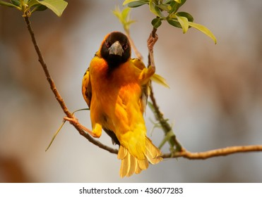 Close-up Black-headed Weaver, Ploceus cucullatus, male hanging between two twigs, staring directly at camera, building its nest by weaving grasses against orange background. Uganda, Kibale forest.