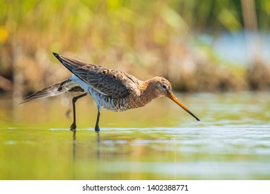 Closeup of a black-tailed godwit Limosa Limosa wader bird foraging in water. Most of the European population breed in the Netherlands.