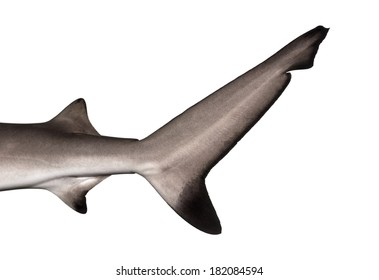 Close-up of a Blacktip reef shark's caudal fin, Carcharhinus melanopterus, isolated on white