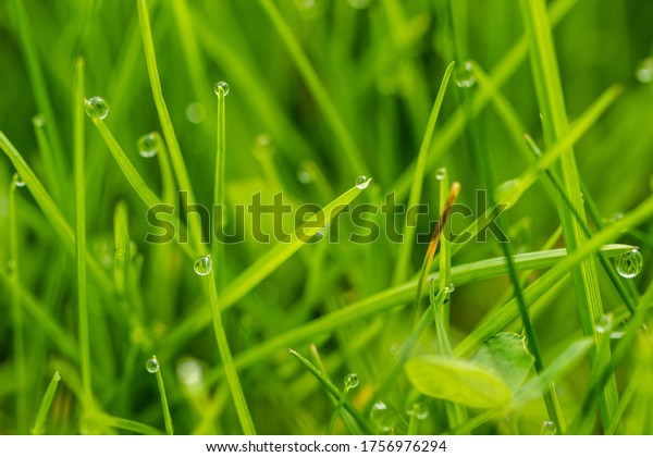 Close-up blades of grass after the rain on a meadow