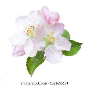 Closeup of blooming Apple flowers  isolated on white.