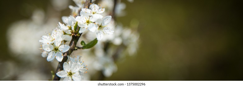 Close-up of a blooming apple tree in the Betuwe in the Neterlands, with a clear blue sky background