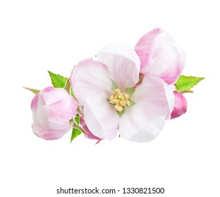 Close-up of a blooming apple tree branch with pink and white flowers isolated on a white background.