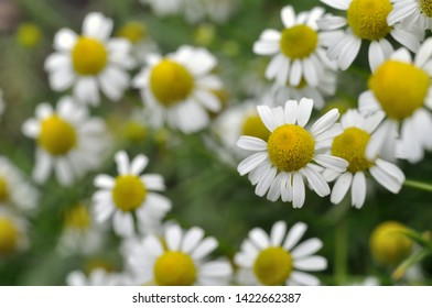 close-up of blooming camomile (Matricaria chamomilla) - homeopathic flowers