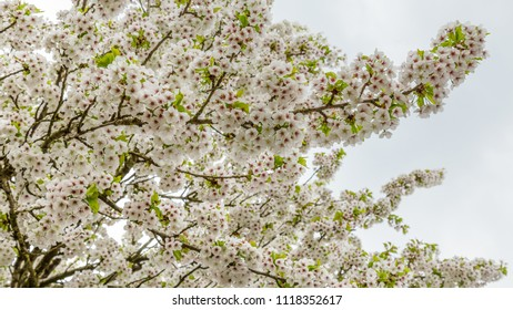 Close-up of blooming cherry trees along the streets in the Netherlands