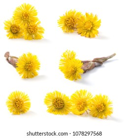 Closeup of a blooming coltsfoot (Tussilago farfara) spring flowers isolated on a white background. A nectar source is a flowering plant.