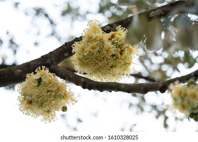 Close-up of blooming durian flowers in the orchard.