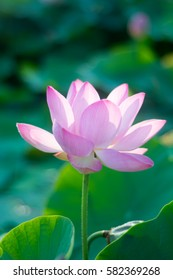 Closeup Blooming of lotus flower with the background.