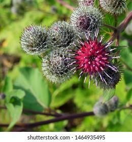 Close-up a blooming medicinal plant burdock (Arctium lappa, greater burdock, gobo, edible burdock, beggar's buttons, thorny burr, happy major).