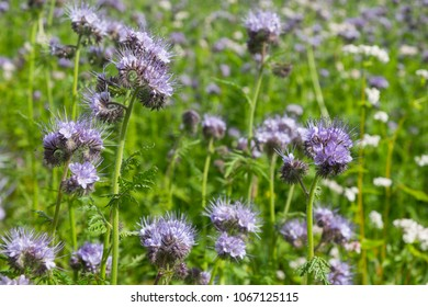 Closeup of a blooming phacelia on a field (Phacelia tanacetifolia, scorpionweed, heliotrope). A nectar source is a flowering plant.
