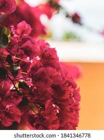 Closeup of blooming pink Caribbean flowers